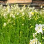 Flora fra Kjøsaraustølen